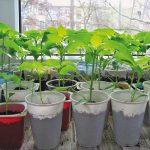 Как правильно вырастить перец на подоконнике?