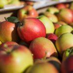 Норвежскую делегацию удивил вкус крымских яблок