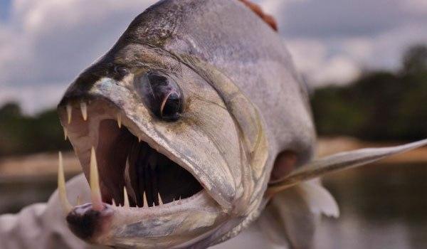 Новый вид рыбы Вампир которая боится солнечного света