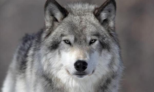 В Волгограде медработник живет в квартире с волком